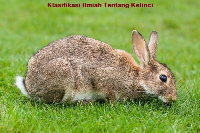 Klasifikasi Ilmiah Tentang Kelinci