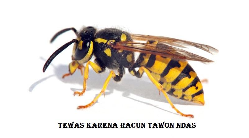 Tewas Karena Racun Tawon Ndas