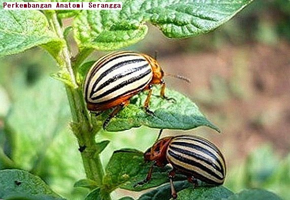 Perkembangan Anatomi Serangga