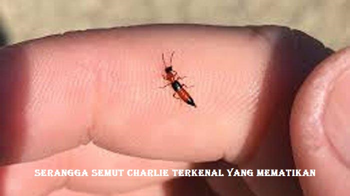 Serangga Semut Charlie Terkenal Yang Mematikan