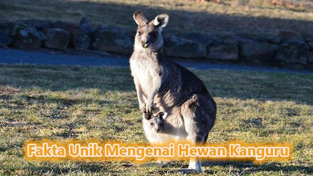 Fakta Unik Mengenai Hewan Kanguru