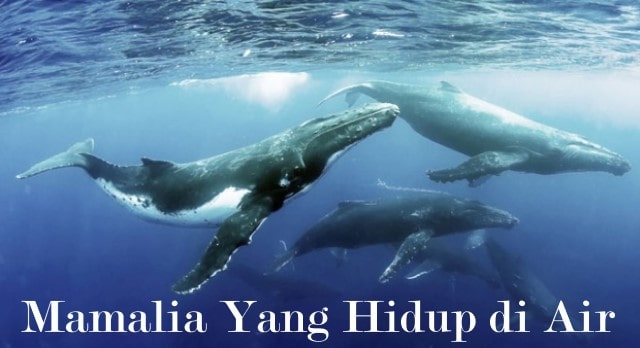 Contoh Hewan Mamalia Yang Hidup di Air