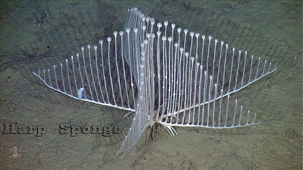 Harp Sponge